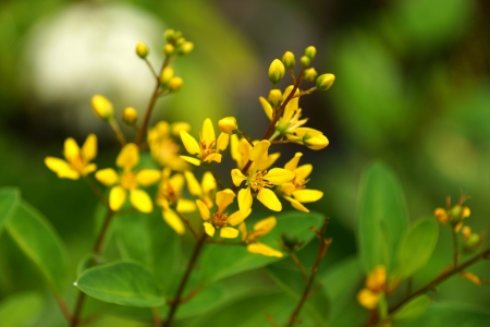 drought    resistant plant: Yellow flowers of Galphimia   Thryallis glauca Kuntze