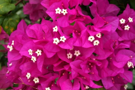 bougainvillea bloom
