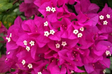 bougainvillea: bougainvillea bloom