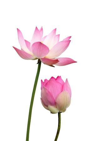 nelumbo nucifera: lotus on isolate white background.