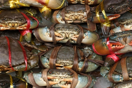 serrated: Serrated mud crab  Scylla serrata  tied and row display for sale