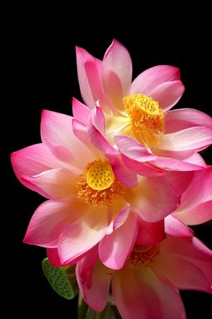 nelumbo nucifera: lotus on isolate black background.