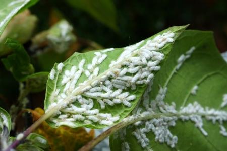 Mealy bug under Leaf