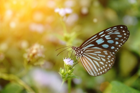 Blue glassy tiger butterfly on flower. (Ideopsis simillis persimillis. Moore) Stock Photo