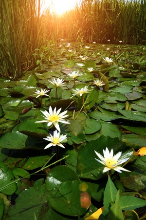Blooming white water lily in the morning and sunlight . Stock Photo - 21641057