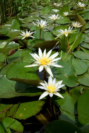 Blooming white water lily in the morning. Stock Photo - 21641058