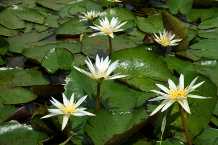 Blooming white water lily in the morning. photo