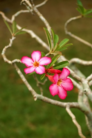 Desert rose on the tree. photo