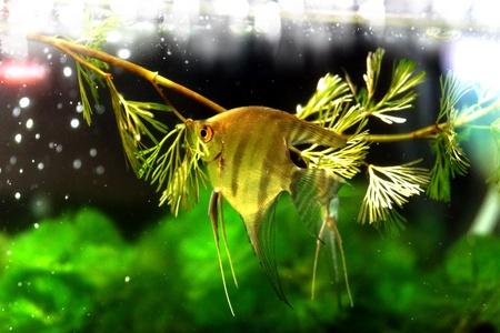 pterophyllum: Angelfish (Pterophyllum altum) Stock Photo