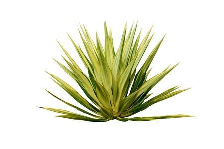 plantas del desierto: Planta de Agave aislados sobre fondo blanco.