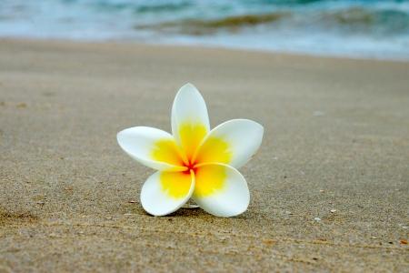 white and yellow frangipani flowers on the beach. photo