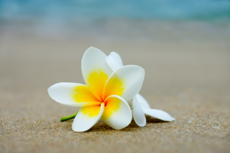 White and yellow frangipani flowers on the beach stock photo stock photo white and yellow frangipani flowers on the beach mightylinksfo