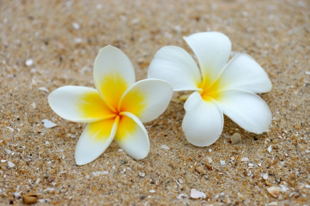white and yellow frangipani flowers on the sand. photo