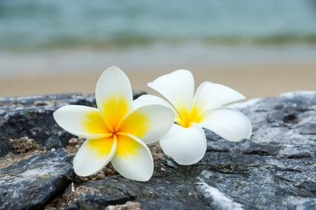 white and yellow frangipani flowers on the stone. photo
