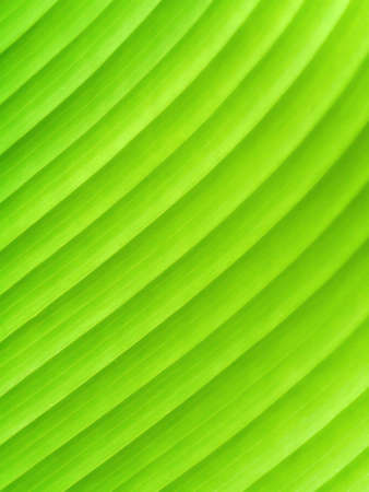 Green leaves of Calathea lutea (Aubl.) Mey tree. photo