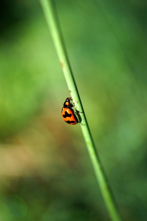 insecta: Insecta: Coleoptera: Coccinellidae lady beetles, ladybugs Stock Photo