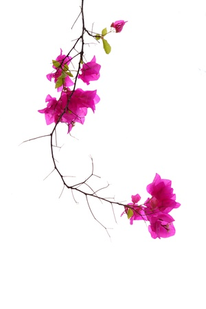 Bougainvillea isolated photo