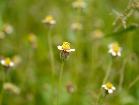 Mexican daisy (Tridax procumbens L.) photo