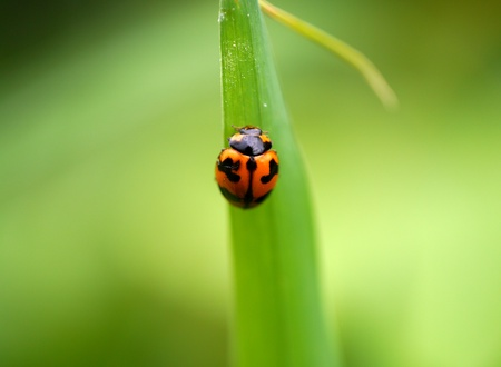 insecta: Insecta: Coleoptera: Coccinellidae Stock Photo