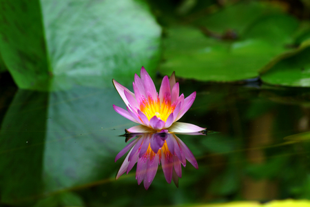 Rosa ninfea e la riflessione in uno stagno. Archivio Fotografico - 22287436