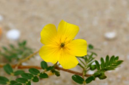 Yellow flowers on the beach. (Tribulus terrestris Linn.) photo