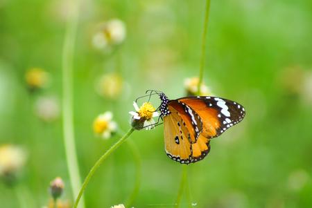 biblis: Butterfly name Red Lacewing on a grass flower. (Cethosia biblis biblis (Drury))