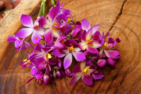 Purple orchid (Spathoglottis ) on wood. photo