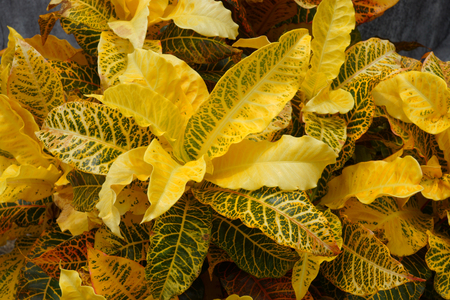 Yellow Garden Croton (Codiaeum variegatum (L.) Blume) photo