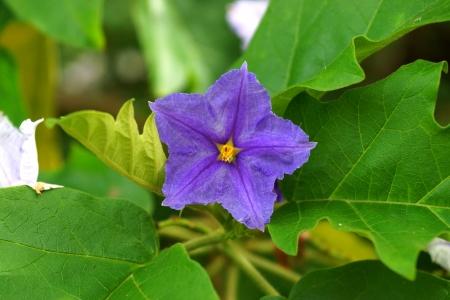 solanaceae: Brazilian potato tree, Potato tree.
