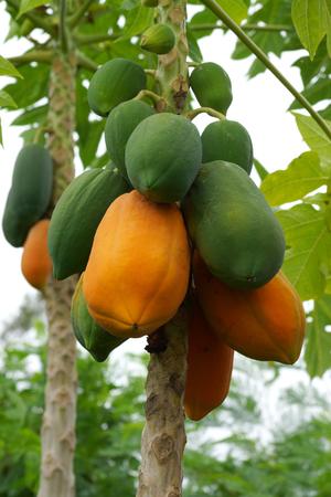 Papaya matura e cruda sull'albero Archivio Fotografico