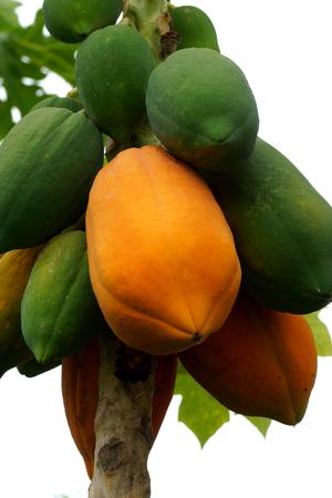 Ripe and raw papaya on the tree