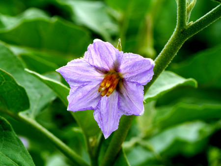 egg plant: violet flower of egg plant, Chionathus parkinonii Stock Photo