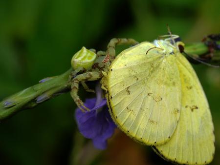 golden orb weaver: Yellow Garden Spider with Prey. Stock Photo