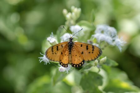 Orange butterfly name Tawny Coster (Acraea violae) photo