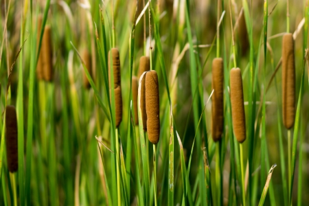 red bulrush amongst green sheet Stock Photo