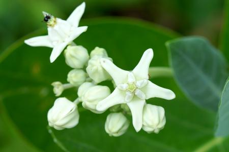 gigantea: Crown Flower, Giant Indian Milkweed  Calotropis gigantea