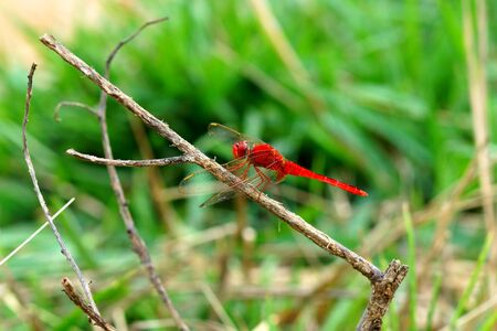 dropwing: A red dragonfly  Stock Photo