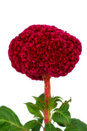Cockscomb, Chinese Wool Flower (Celosia argentea L. var. cristata (L.) Kuntze)
