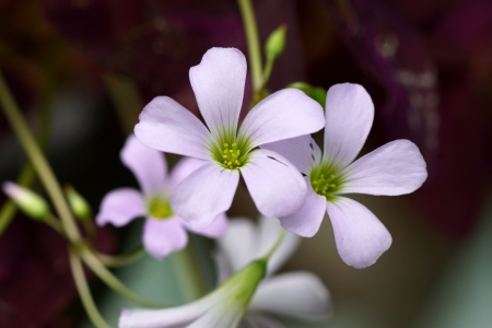 oxalidaceae: Pink flower of Indian park. (Oxalis sp.) Stock Photo