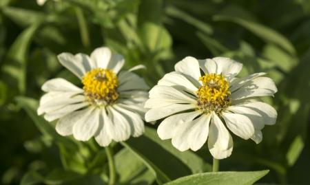 White Zinnia flowers photo