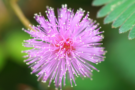 sensitive plant ( mimosa pudica ) photo