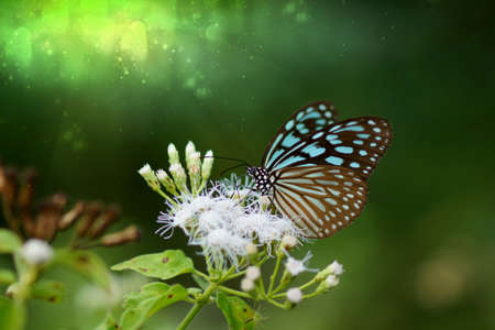Blue glassy tiger butterfly on flower. (Ideopsis simillis persimillis. Moore) photo