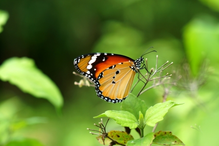 Orange butterfly on flower. (Cethosia cyane) photo