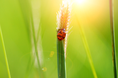 coccinellidae: Ladybug on grass after sun exposure. (Insecta Coleoptera: Coccinellidae)