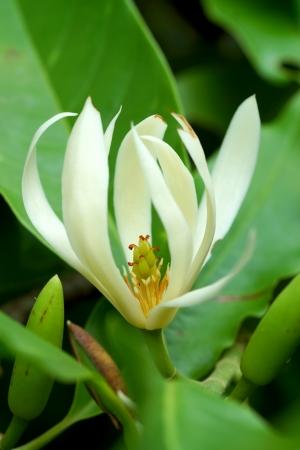 White Champaka flowers blossoming on the tree   Michelia alba DC
