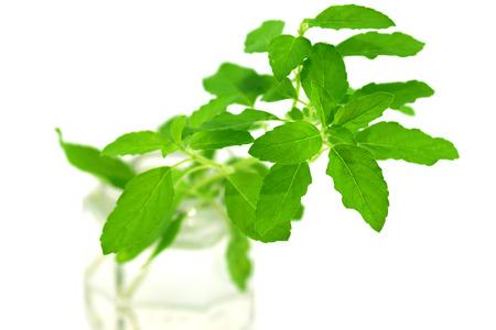 sanctum: Green leaves of the herb name Ocimum sanctum.