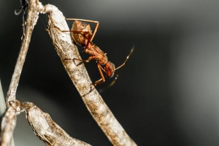 red ant: hormiga roja caminando en una rama Foto de archivo