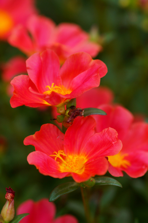 Red Portulaca flowers at the garden. photo