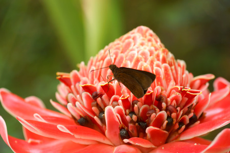 Tropical flower of red torch ginger in rainforest   Etlingera elatior  Jack  R M  Sm