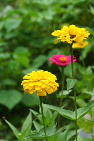 compositae: Zinnia flowers. (family Compositae)